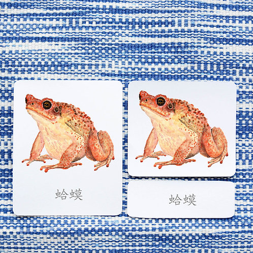 3 PART CARDS: AMPHIBIANS Chinese Simplified