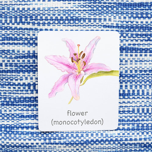 PARTS OF: FLOWER (MONOCOTYLEDON)