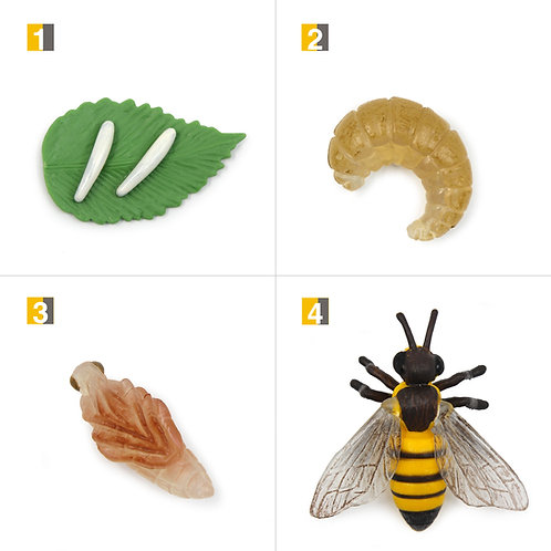 Life Cycle Stages of a Honey Bee Montessori Zoology