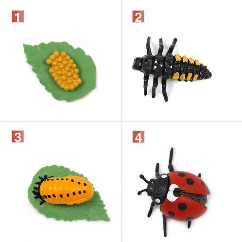 Life Cycle Stages of a Ladybug Montessori Zoology