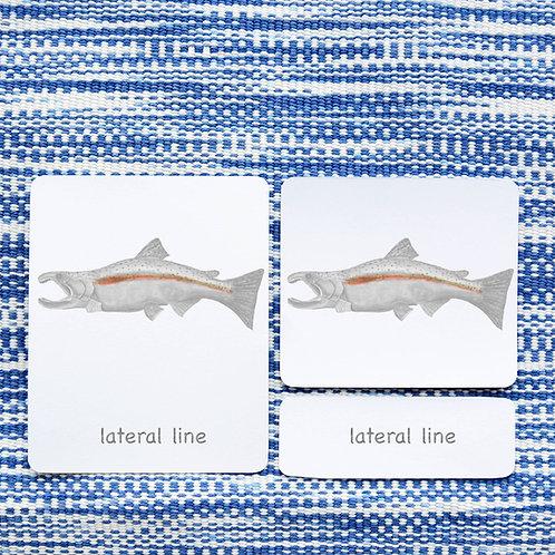 PARTS OF: SALMON FISH