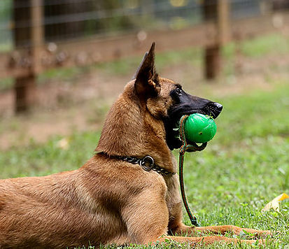 Dutch Shepherd Female