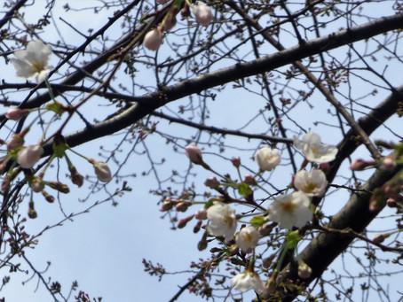 新宿区四ツ谷の桜
