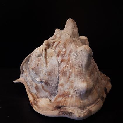 coquillage casque cornu cabinet de curiosités