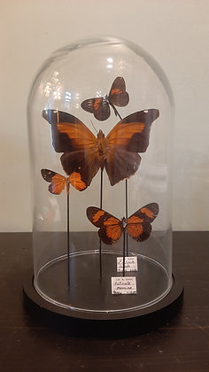 Globe de papillons entomologie
