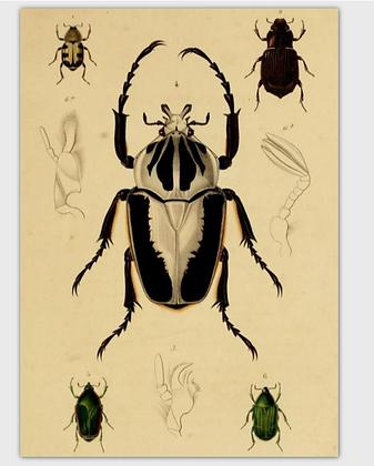 carte scarabée noir