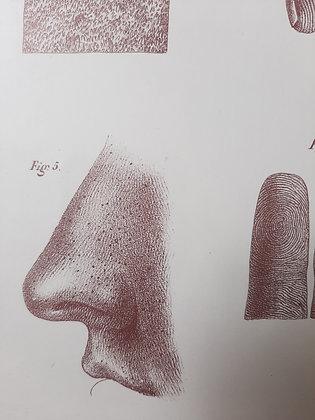 planche anatomique peau 2