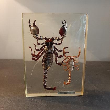 inclusion scorpions cabinet de curiosités boutique cam le mac
