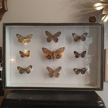 boite entomologique de papillons #3