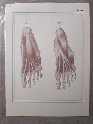 planche anatomique pied