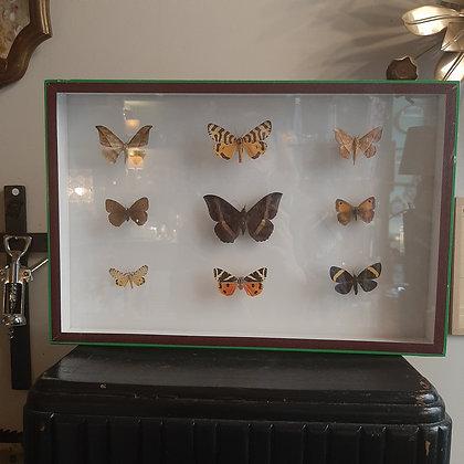 boite entomologique de papillons