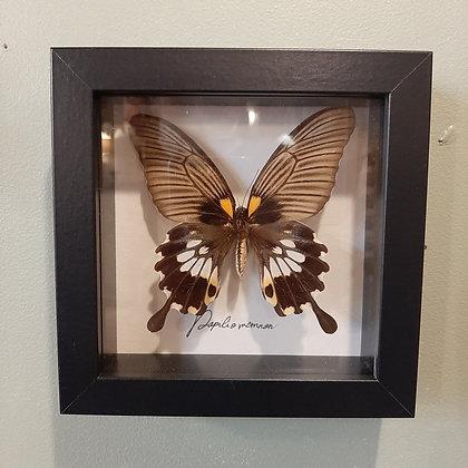 cadre entomologie papillon boutique cam le mac