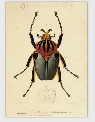 carte scarabée couleur