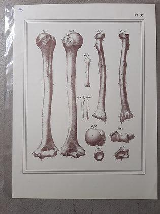 planche anatomique os