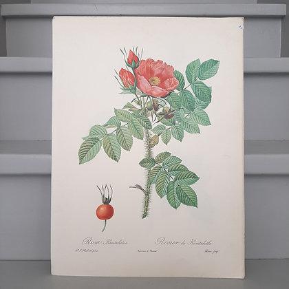 planche botanique rosier kamtschatka