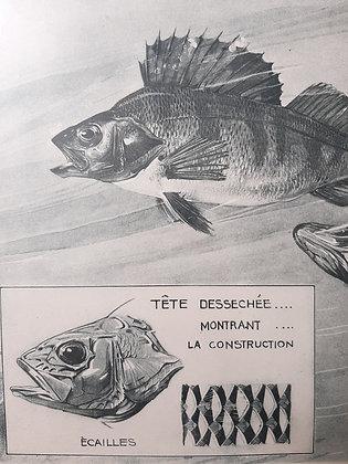Copie de planche animaliere poisson