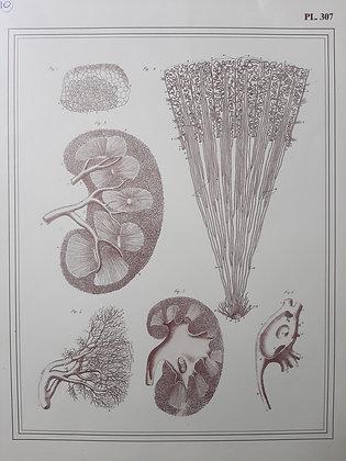 planche anatomique vaisseaux