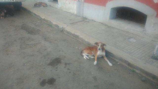 Superlotação de cães nas ruas da cidade de São Tomé.