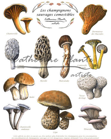 Champignons sauvages comestibles