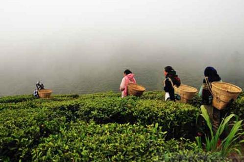 Thé noir d'Inde - Assam Balijan OP - 100 gr
