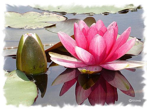 Thé du monde - Ceylan - Lotus -100 gr