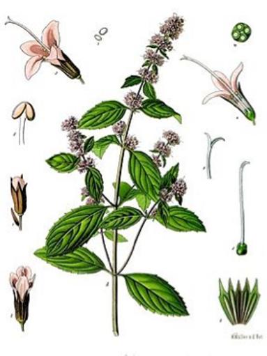 Menthe Poivrée - 50 g
