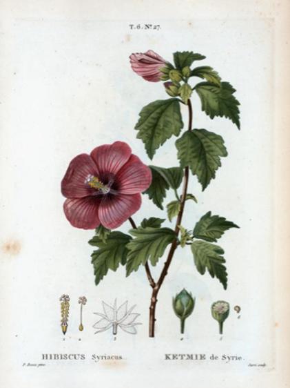 Fleurs d'Hibiscus - 50 g
