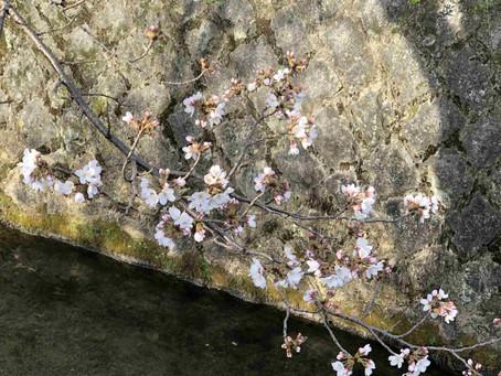 桜咲く。今日は春分の日。