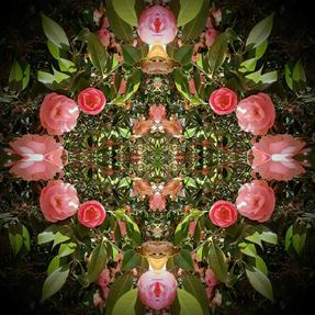 Camellia japonica ©
