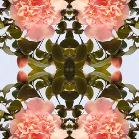 Camellia ©