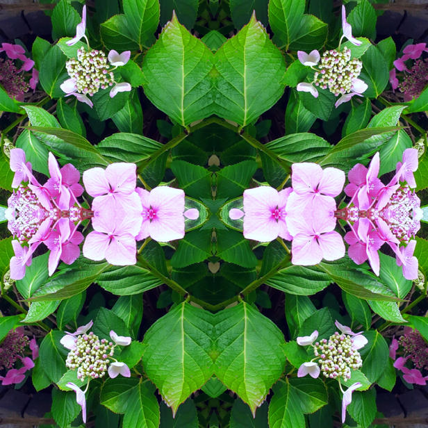 Hydrangea #2 ©