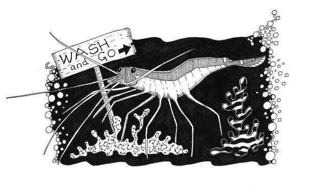 Cleaning shrimp ©