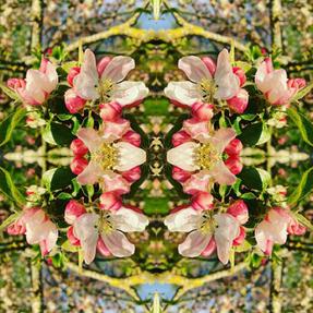 Apple blossom ©