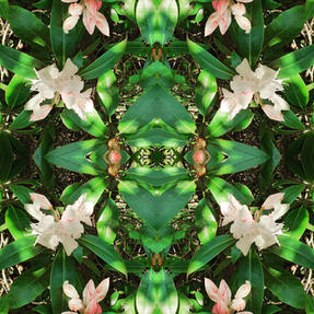 Rhododendron ©