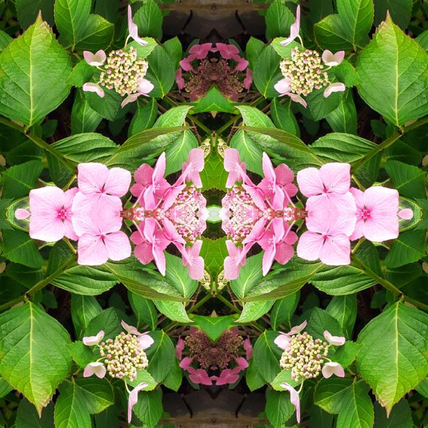 Hydrangea #1 ©