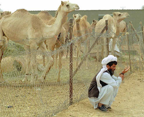 Man and some camels.png