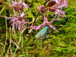 Forester moth on a ragged robin flower.j