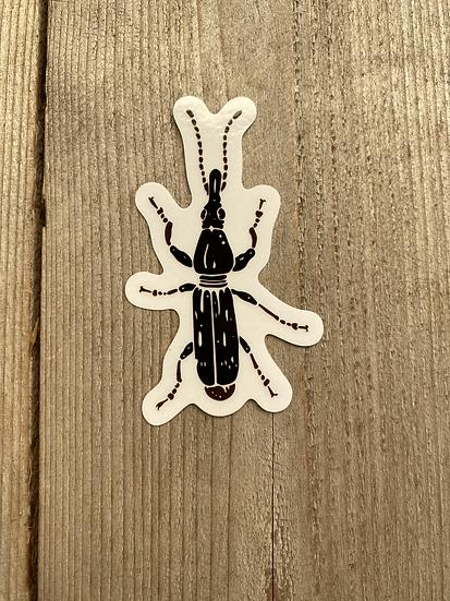 Oak Timberworm Weevil (female)