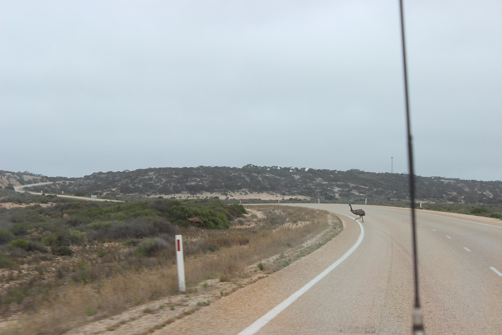 Emus on the road! Just outside Eucla