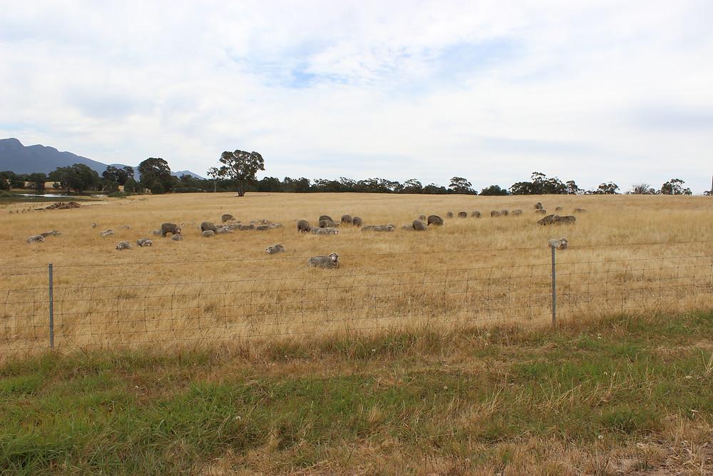 Jan - Sheep or Rocks?