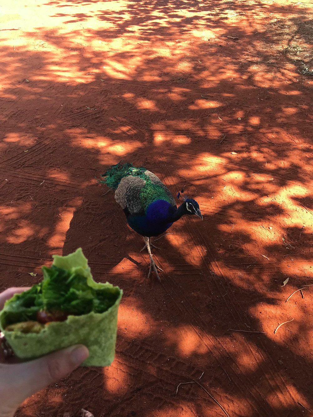 Peacocks being greedy at our Sandfire lunch stop.