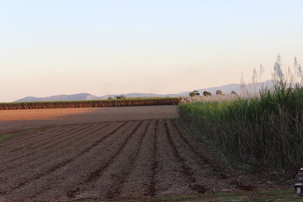 Sunset of the Cane Fields