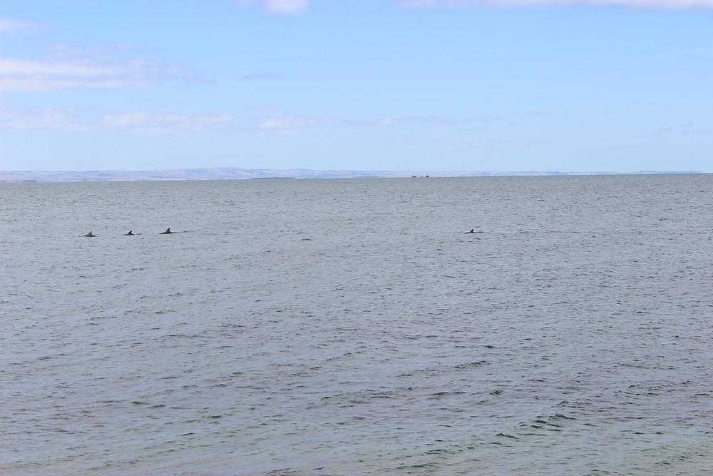 Many Dolphins!