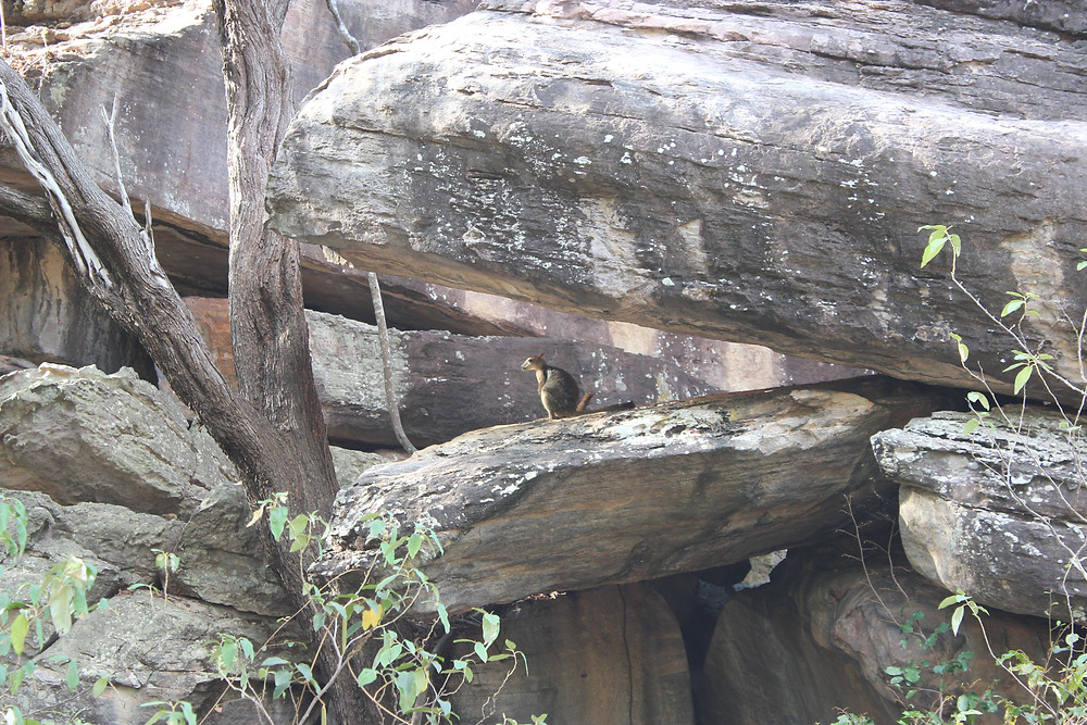 Brush Tailed Rock Wallaby!