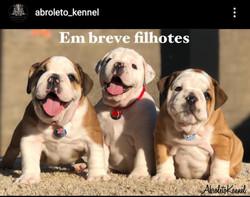 bulldog ingles Indisponivel