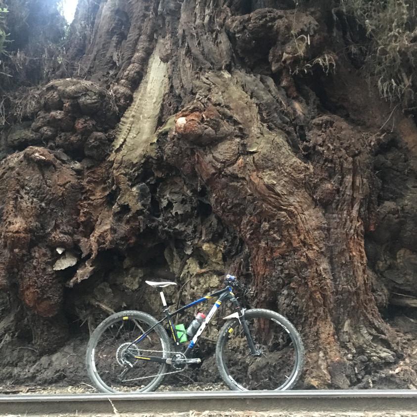 Humungous trees