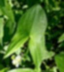 La sagittaire à large feuilles, plante indésirable qui rend de multiples services. Elément incontournable de la biodiversité