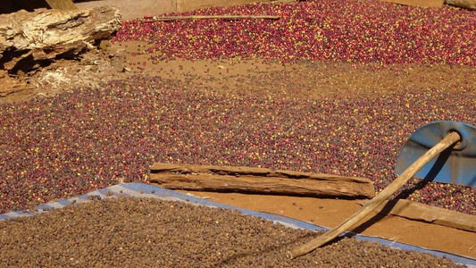 Coffee beans drying in the sun in Laos