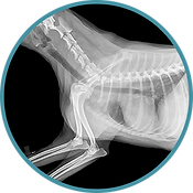 Dog chest x-ray