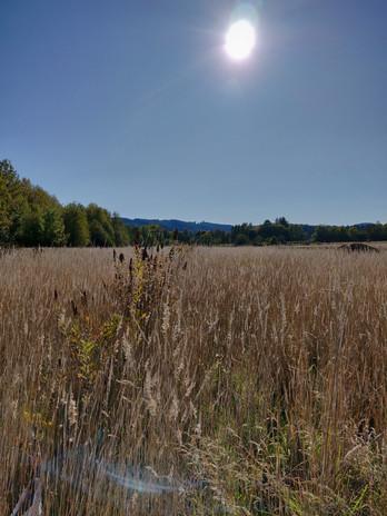 Spirea in Field looking South.jpg